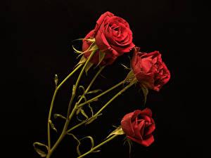 Фотография Розы Черный фон Красная