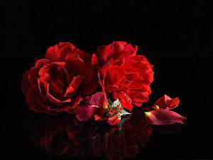 Обои для рабочего стола Розы На черном фоне Двое Красный Лепестков Цветы