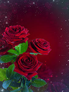 Картинка Розы Букеты Листья Шаблон поздравительной открытки Красный фон Цветы