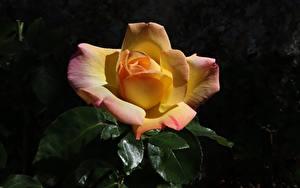 Фотография Розы Крупным планом цветок
