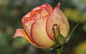 Картинки Роза Вблизи
