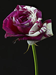 Картинки Розы Вблизи Черный фон Цветы