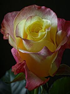 Фотографии Роза Крупным планом На черном фоне цветок