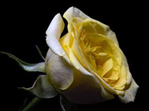 Обои Роза Вблизи На черном фоне