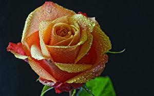 Фото Розы Вблизи Черный фон Капли Цветы