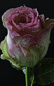 Картинка Розы Крупным планом На черном фоне Капель