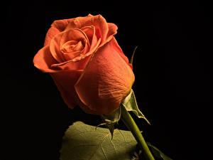 Фотография Роза Вблизи Черный фон Оранжевая цветок