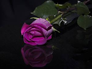 Картинка Роза Крупным планом На черном фоне Розовый Отражение Цветы