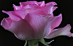 Фотографии Розы Крупным планом Черный фон Розовый