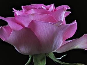 Фотографии Роза Крупным планом На черном фоне Розовый цветок