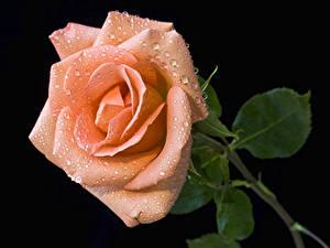 Фотография Розы Крупным планом На черном фоне Розовый Капель Цветы