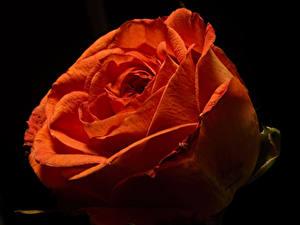 Картинка Розы Крупным планом На черном фоне Красные цветок