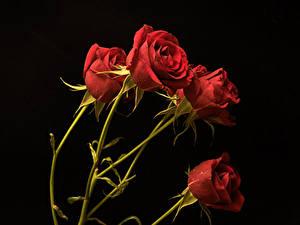 Фото Розы Крупным планом На черном фоне Красная Цветы