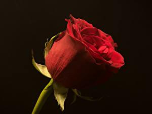 Картинки Розы Крупным планом Черный фон Красная