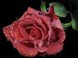 Фотографии Роза Крупным планом На черном фоне Красная Капли