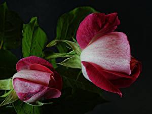 Фото Розы Вблизи На черном фоне Два цветок