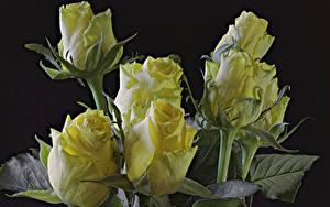 Фотографии Розы Крупным планом Черный фон Желтая цветок