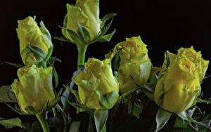 Фотографии Розы Вблизи Черный фон Желтый Цветы