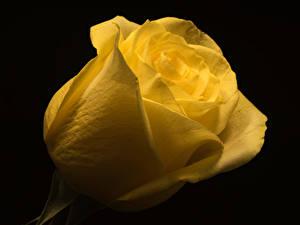 Фотография Розы Вблизи На черном фоне Желтые