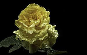 Обои Розы Вблизи Черный фон Желтая Капли Цветы