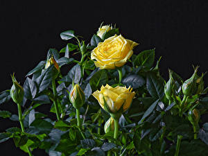 Картинка Роза Крупным планом Черный фон Желтый Бутон цветок