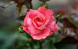 Картинки Роза Вблизи Боке Розовый цветок