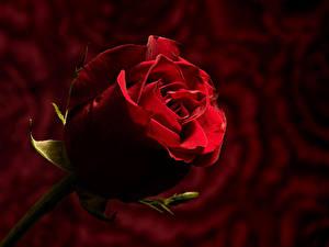 Фотографии Роза Вблизи Боке Красная цветок