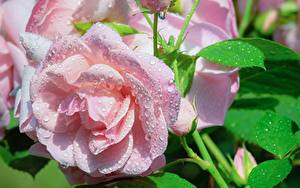 Картинка Роза Вблизи Капля Розовая цветок