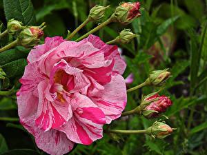 Обои Розы Вблизи Бутон Цветы