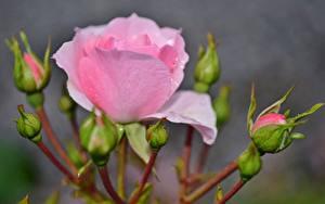 Фото Розы Вблизи Бутон Розовый