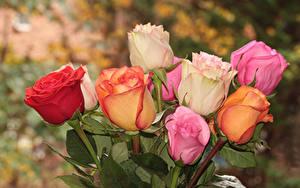 Фотографии Розы Вблизи Разноцветные цветок
