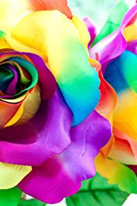 Фотографии Роза Крупным планом Лепестков Разноцветные цветок