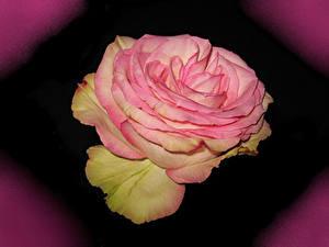 Картинки Розы Вблизи Розовая Цветы