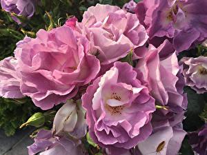 Обои Розы Крупным планом Розовых Цветы