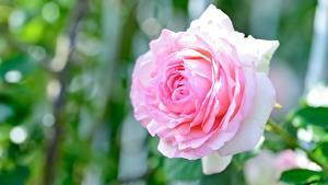 Картинки Роза Вблизи Розовая цветок