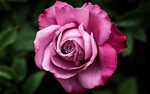 Картинки Роза Крупным планом Розовая Цветы
