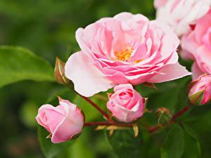 Обои Роза Вблизи Розовые цветок