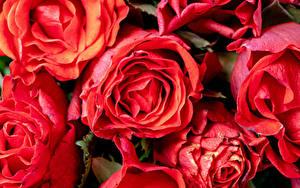 Обои Розы Крупным планом Красная цветок