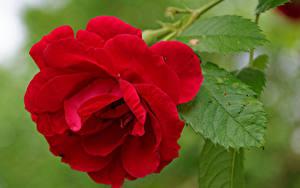 Фотографии Роза Вблизи Красная цветок