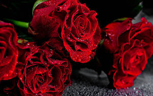 Обои Роза Вблизи Красный Капля Цветы