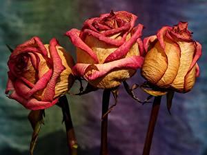 Картинки Роза Вблизи Втроем Сухой цветок