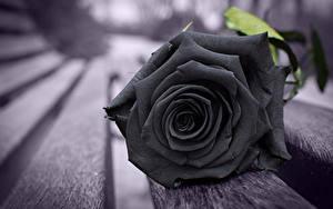 Картинка Розы Крупным планом Доски Черная Скамья Цветы