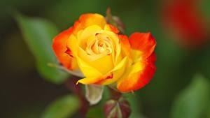 Обои для рабочего стола Роза Крупным планом Желтый Боке цветок