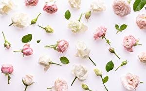 Фотография Роза Бутон Листва Белом фоне цветок