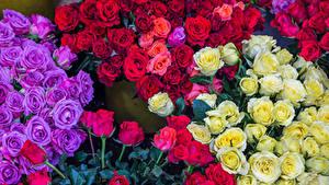 Фотографии Роза Много Разноцветные Цветы