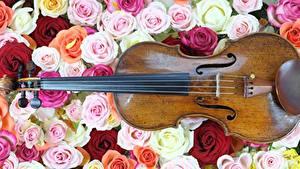 Обои для рабочего стола Роза Много Музыкальные инструменты Скрипки цветок