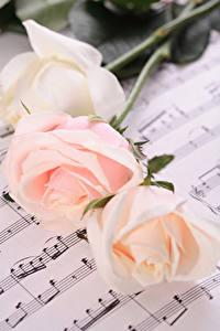 Фотографии Розы Ноты Трое 3