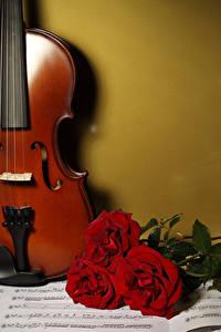 Фото Розы Ноты Втроем Бордовый Цветы