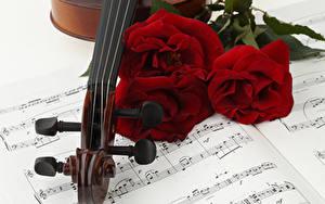 Фотография Розы Ноты Втроем Бордовый Цветы
