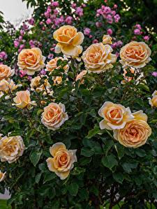 Обои для рабочего стола Роза Оранжевая цветок
